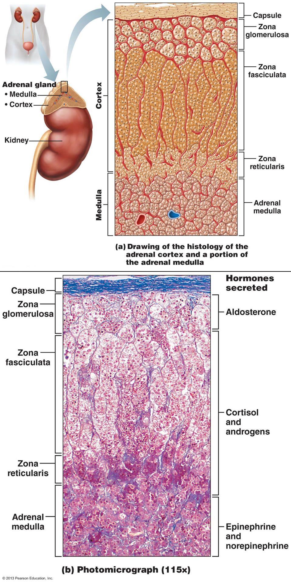 Que hormonas producen las glandulas suprarrenales yahoo dating