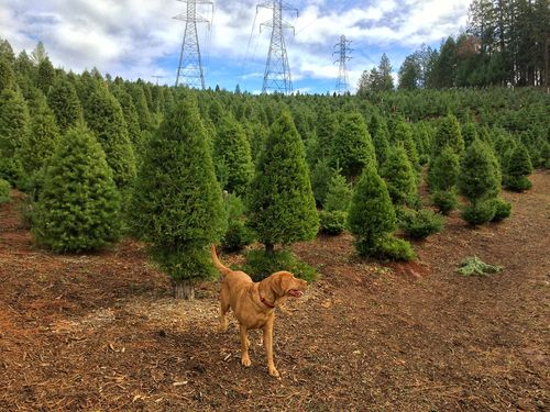 christmas tree farm apple hill california