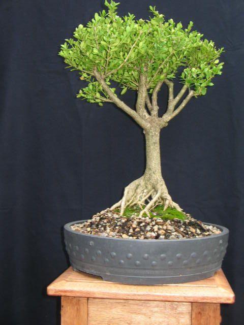 Boxwood Bonsai Bonsai Tree Bonsai Plant By Buckscountybonsai 120 00 Bonsai Plants Bonsai Tree Boxwood Bonsai