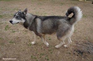 Siberian husky in Alabama
