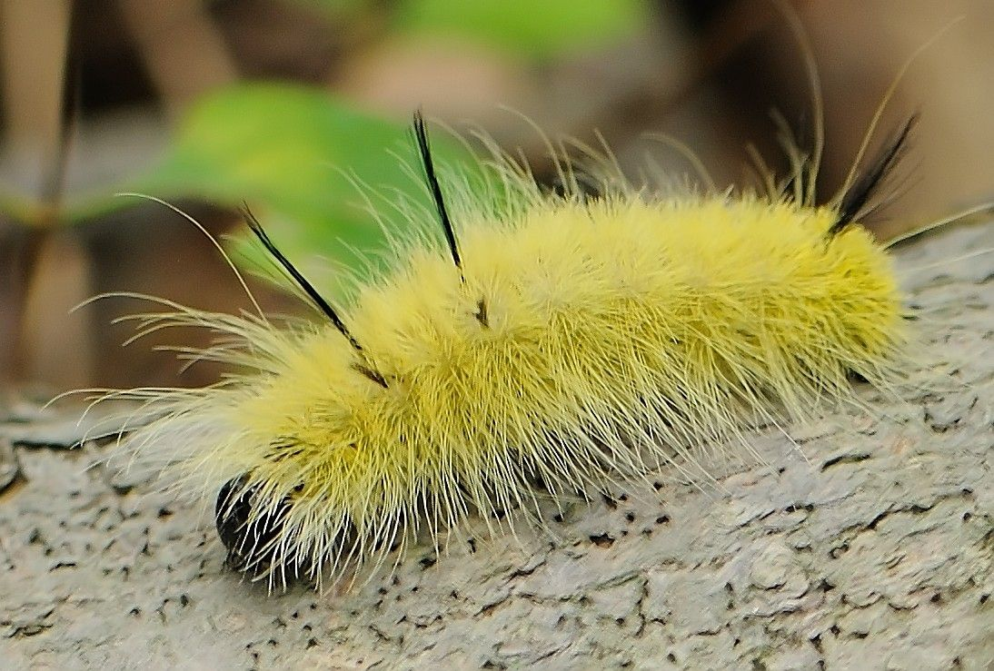 American Dagger Moth (Acronicta americana) caterpillars