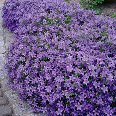 Dalmatian bellflower produces beautiful mounds of purple for Low maintenance summer flowers