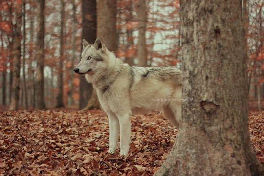 """""""Wolves"""" by Half Moon Ambassadors"""