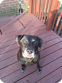 Labrador Retriever Dog For Adoption In Dayton Ohio Bowie Dog Adoption
