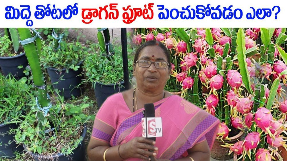 How to Grow Dragon Fruit Cultivation on Rooftop / Terrace Garden || SumanTV Tree - YouTube #rooftopterrace