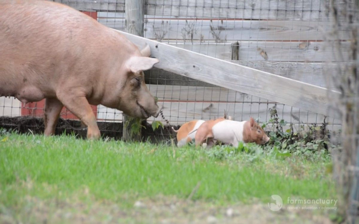 from squalor to solitude farm animals rescued from backyard