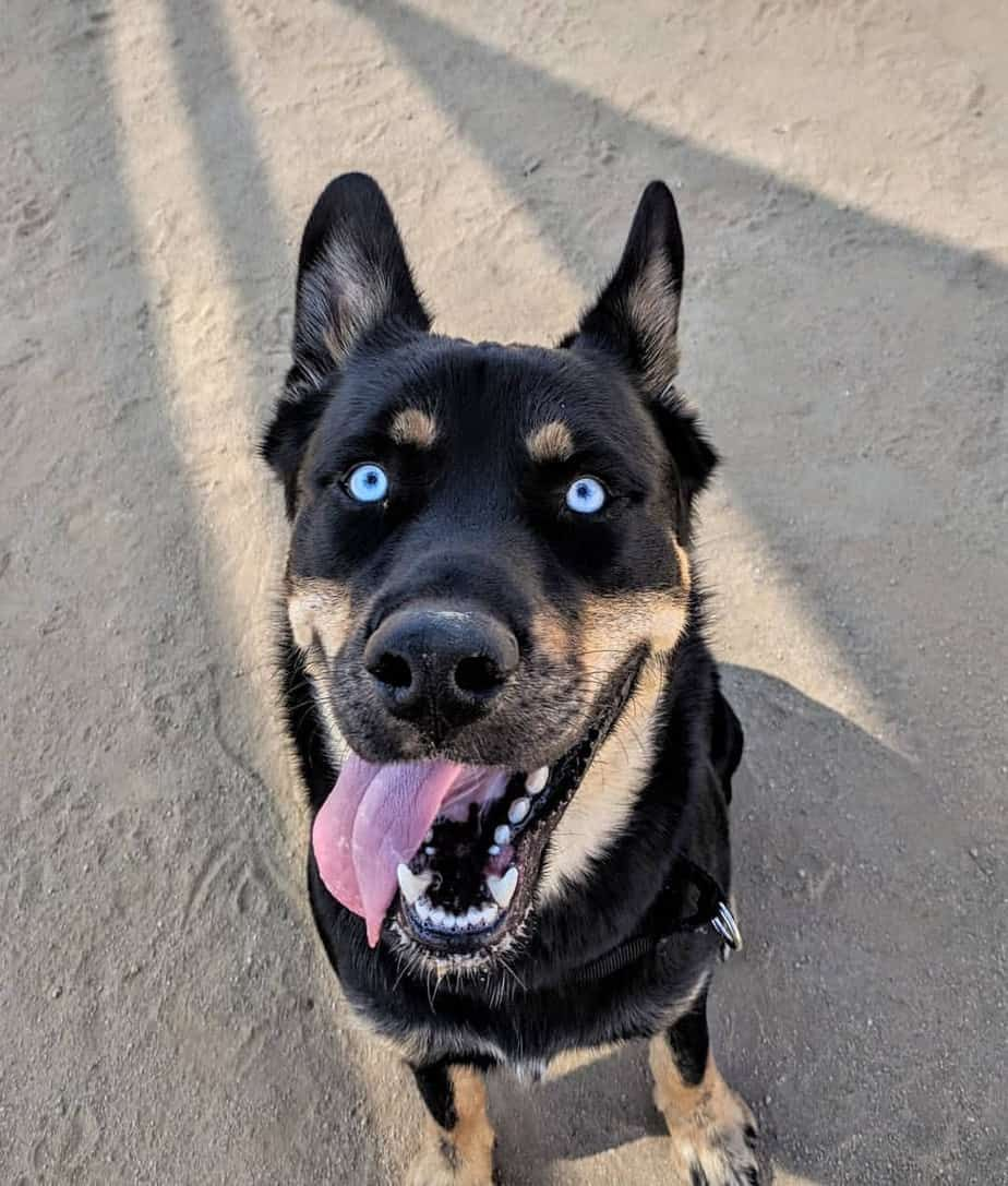 Husky rottweiler mixes are adorable but are they the