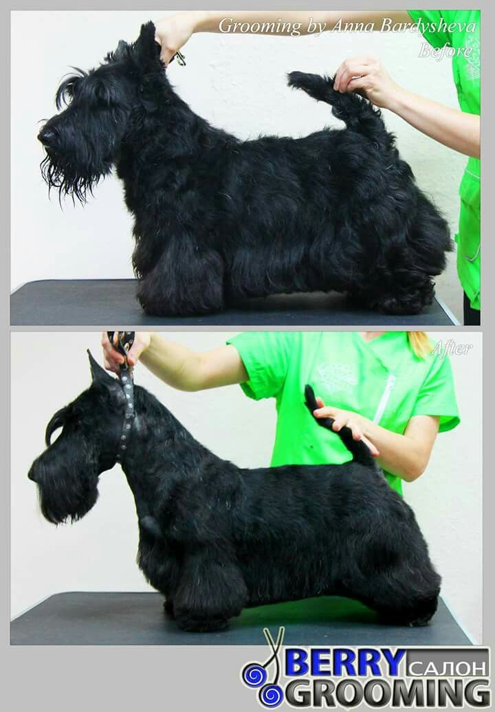 Scottie Dog Grooming Dog Groomers Dog Haircuts