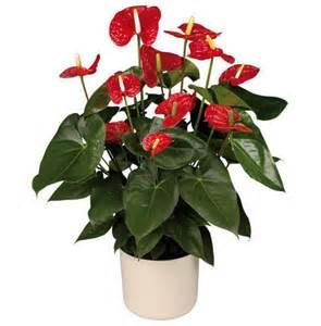 Red Anthurium Plants Peace Lily Plant
