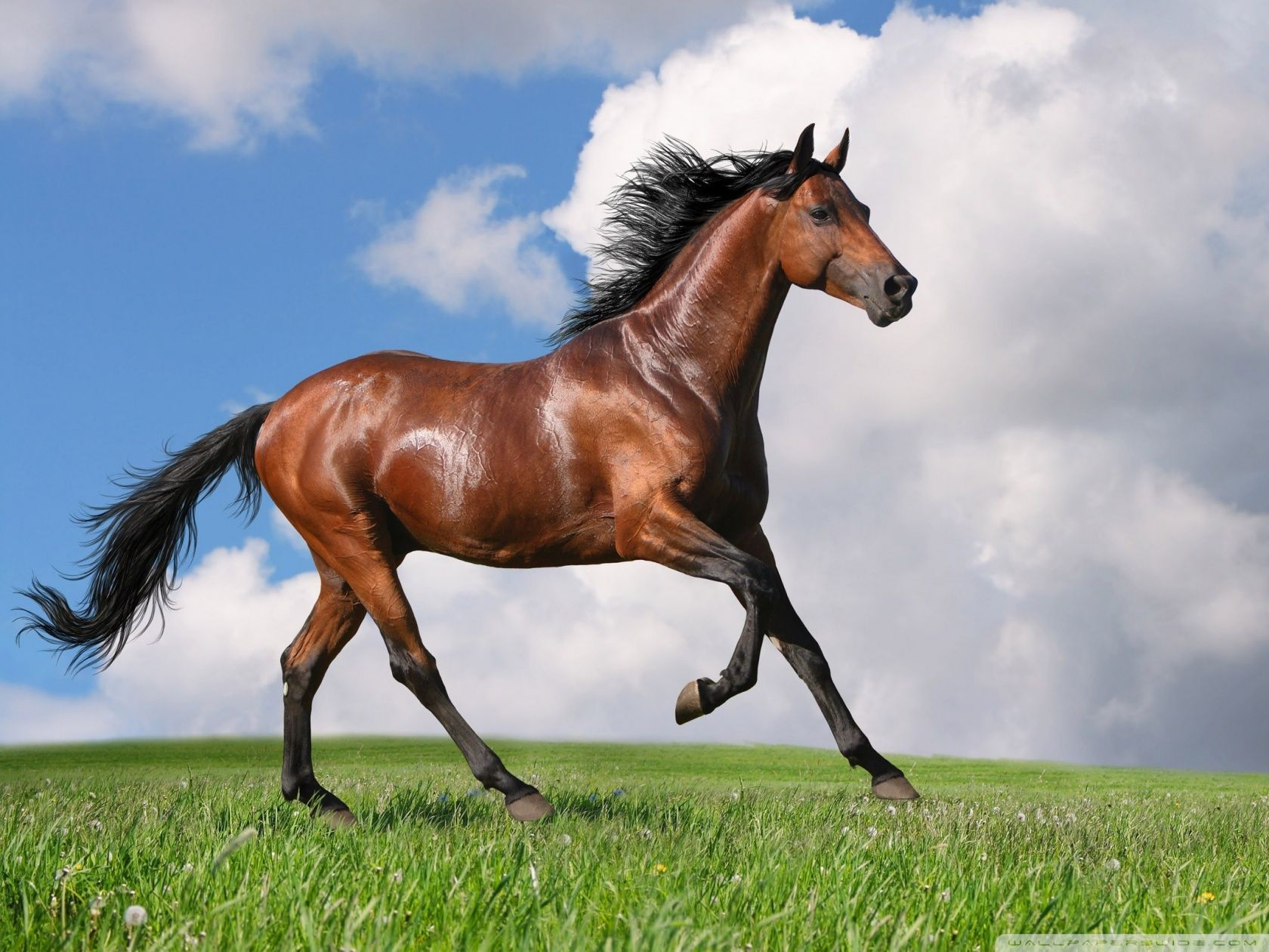 Running Horse Hd Desktop Wallpaper High Definition Fullscreen