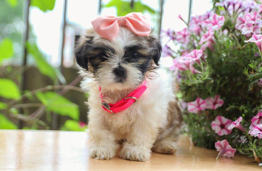 Active Shihtzu Lancaster Puppies Dog Breeder Shih Tzu Puppy
