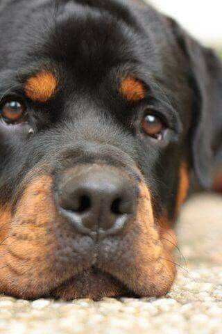 Love You Dog Addicted Dogs Rottweiler Puppies
