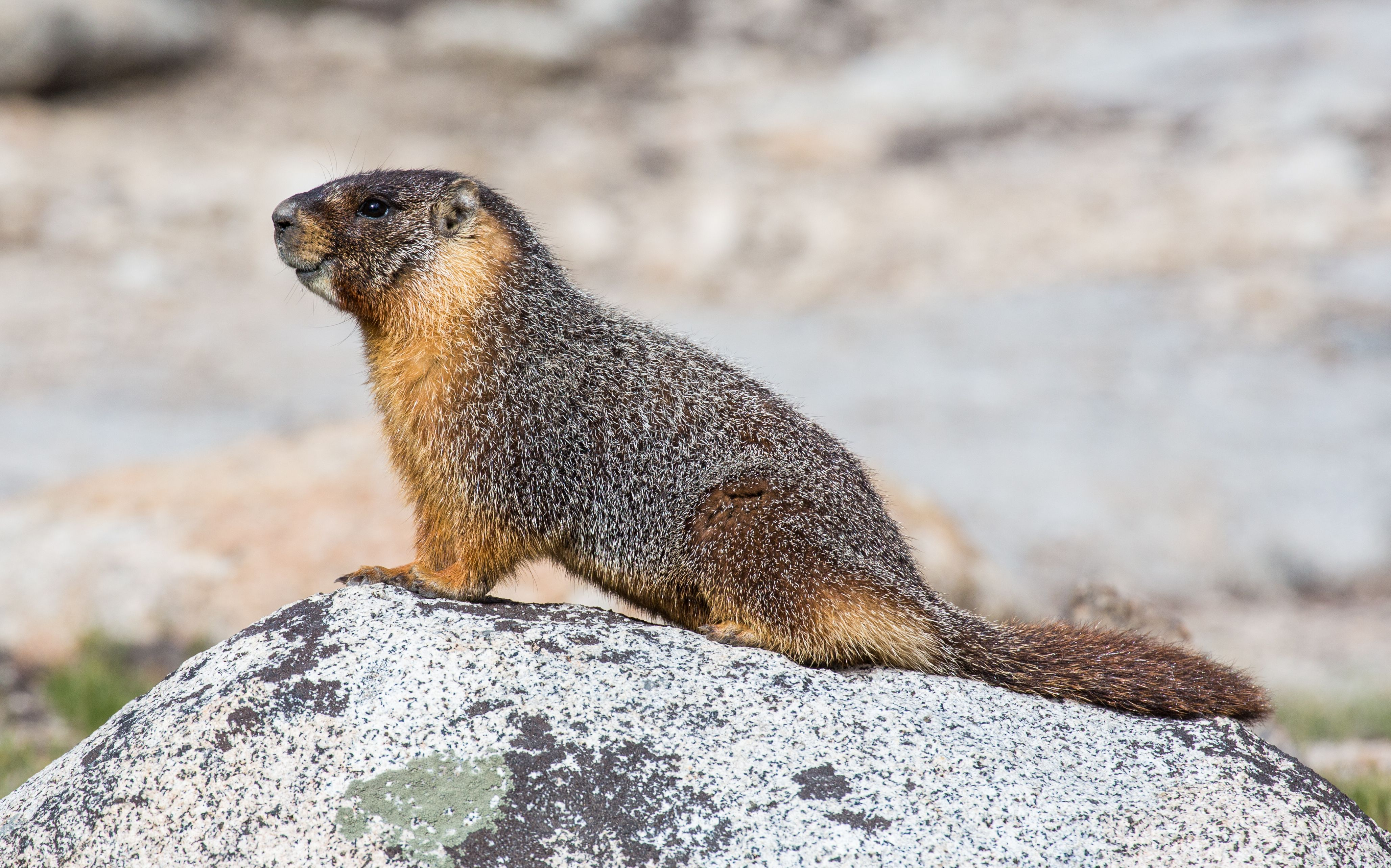 eastern marmots are ground dwelling rodents of the squirrel family