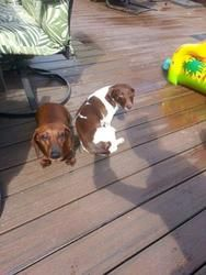Phin And Lily Is An Adoptable Dachshund Dog In West Vancouver Bc