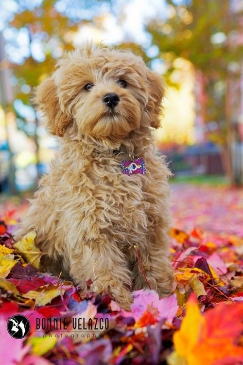 Micro Mini Goldendoodle Puppies And Toy Goldendoodle Puppies For
