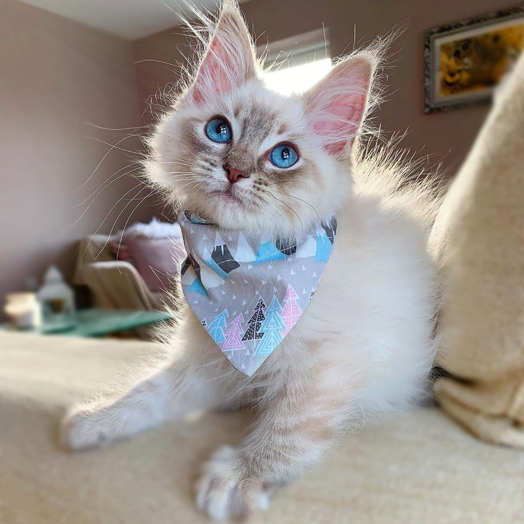 Newest Photographs Ragdoll Cats Cuddle Popular The Important Weak Ragdoll Is Usually A Lovable Accessor Cat Cuddle Ragdoll Cat Breed Cute Cat Breeds