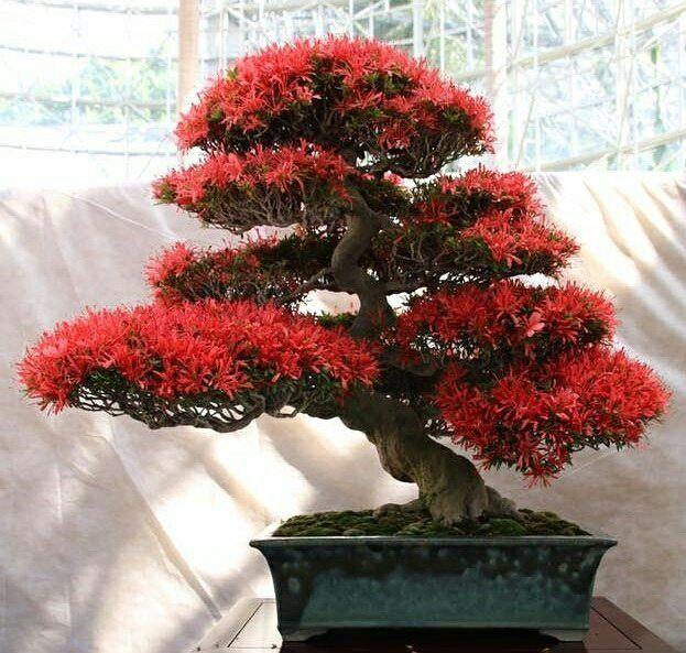 Satsuki Azalea (Rhododendron Indicum) 🇯🇵⠀ (Ph. Credit ...