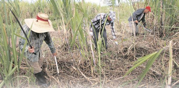 Caña pa' aliviar al ganado que sufre por la gran sequía