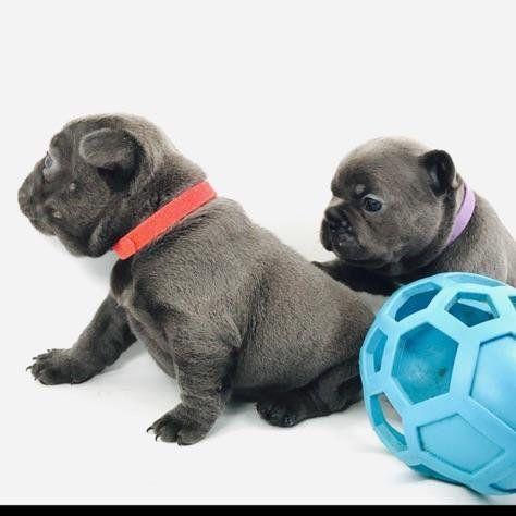 Bluecoat French Bulldogs Puppies Www Bluecoatfrenchbulldogs Com