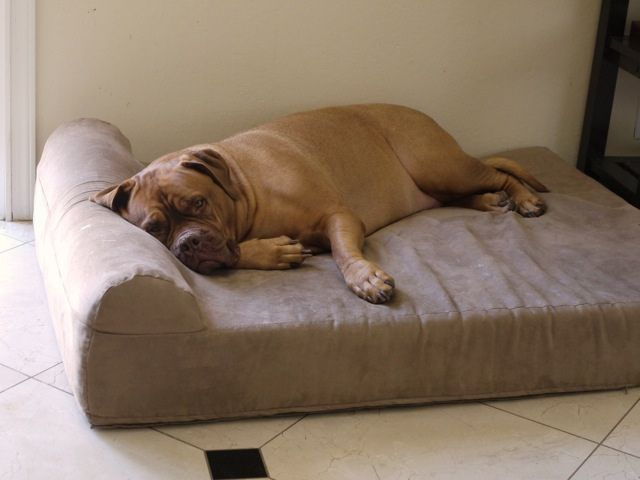 Orthopedic Dog Beds For Large Extra Large Dogs With Images