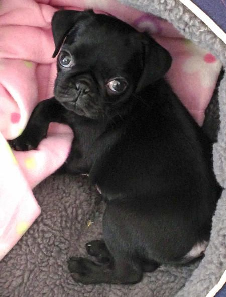 Louie The Pug Puppy Adorable Cute Pugs Pugs Pug Puppies