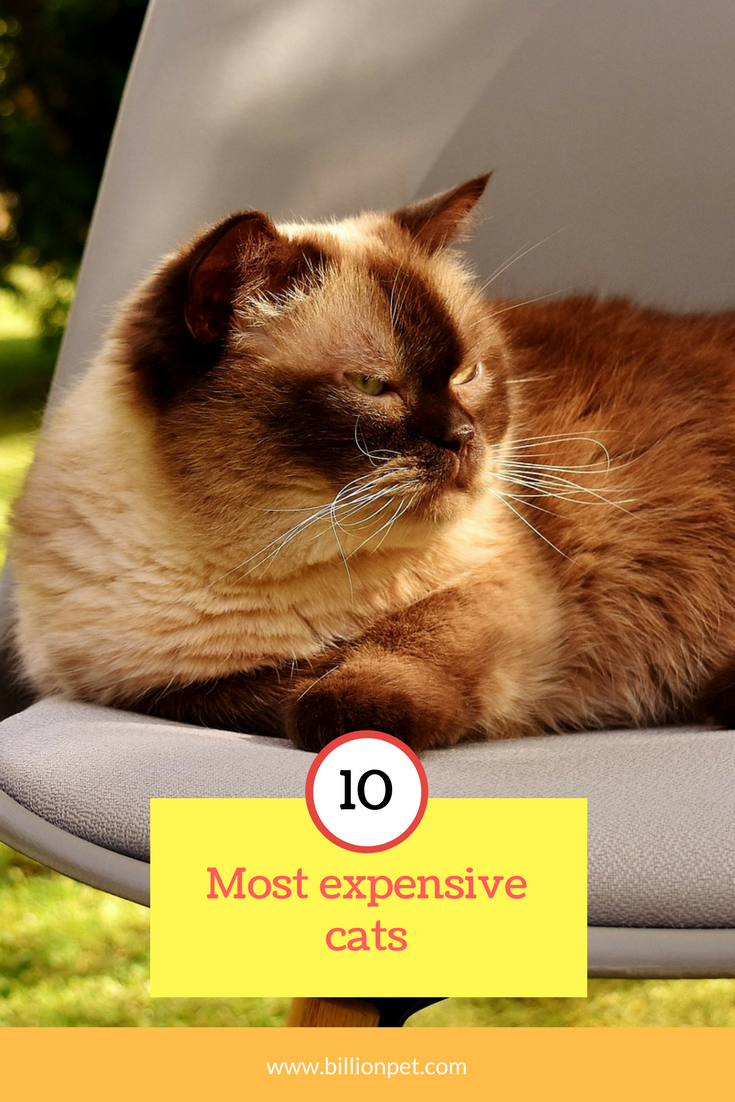 amazing Top 5 expensive cats finally revealed 1 will