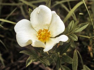 Rosa foliolosa (White prairie rose)  Best suited for woodlands, close to marshes.
