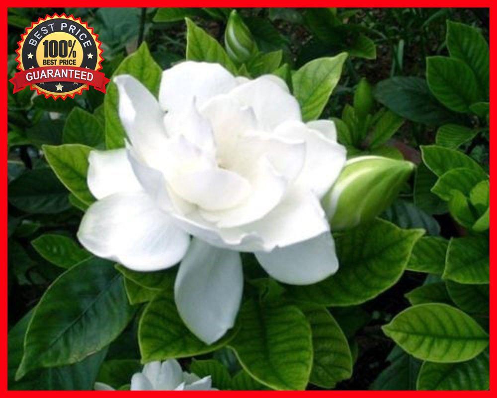 100pcs Cape Jasmine Gardenia Seeds Fragrant Flower Seeds Shrub
