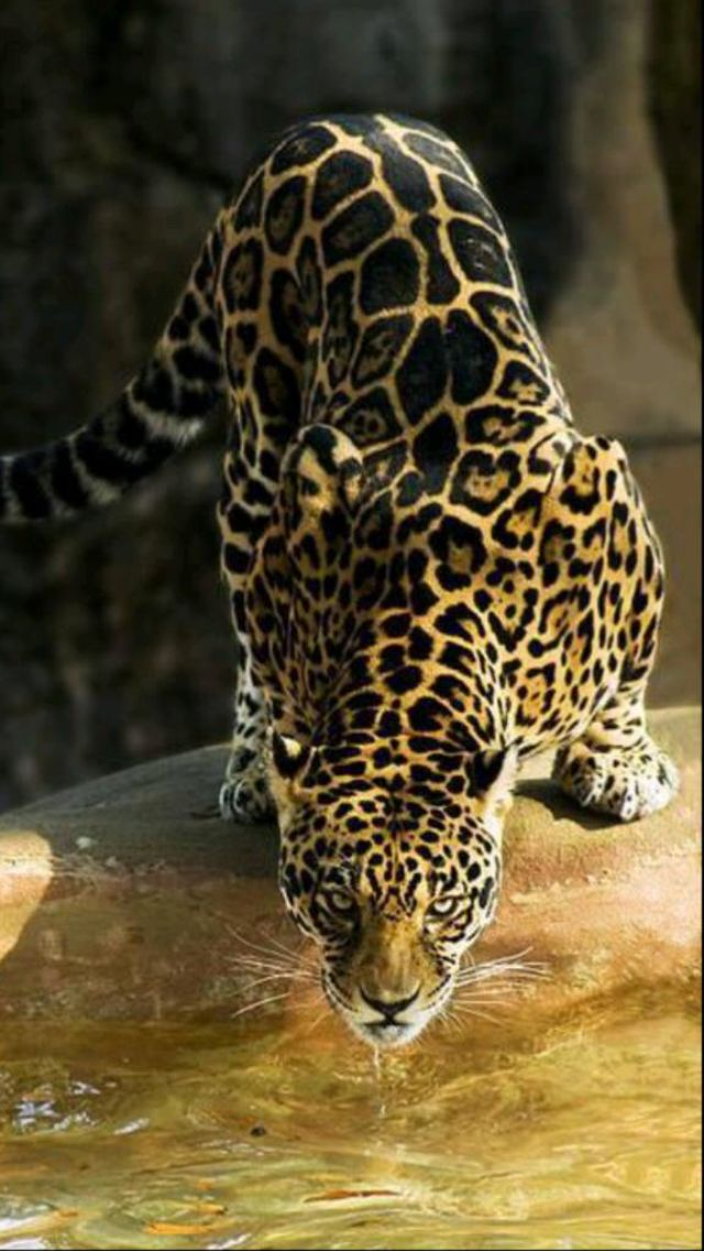 Pin by Jean London on Big Cat Magic Animals, Animals