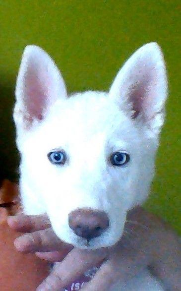 White Siberian Husky With Blue Eyes Her Name Is Islka Amor De