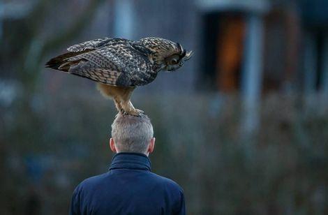 In tegenstelling tot de `terror-oehoe` uit Purmerend valt de Veluwse `knuffel-oehoe` niemand aan. De vogel landt zachtjes op het hoofd.