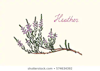Heather Flowers Images Stock Photos Vectors Flowers Heather Images Photos Flowers Heather Images P In 2020 Heather Flower How To Draw Hands Vector Flowers
