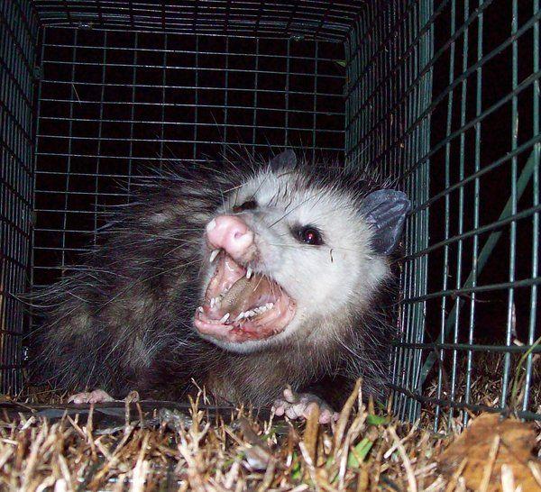 Angry Possum by Possum-luver | White trash bash | Funny
