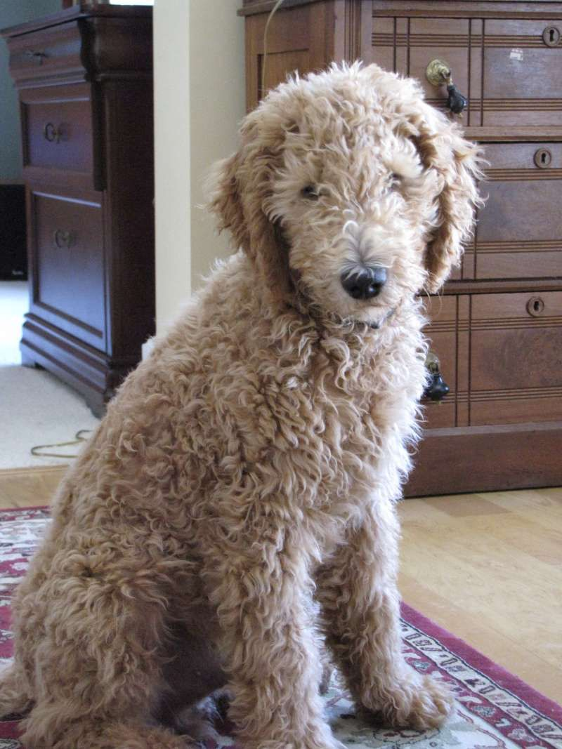 Goldendoodle - full grown | Dog Breeds | Pinterest ...
