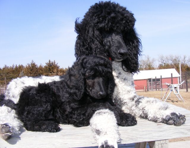 Royal Poodles My Retired Poodles 308 546 2471 Mona And Pup