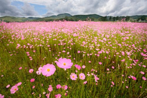 voulx: Field of cosmos in Michoacan, Mexico.