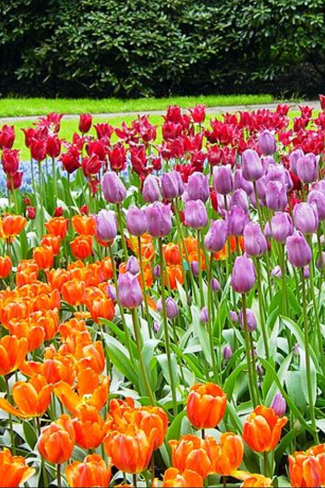 Jardín de flores keunkefhof  en Holanda meridional, Países Bajos.