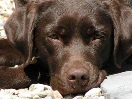 Uk Labrador Breeders Chocolate Labrador Puppies For Sale Labrador Retriever Lab Puppies Labrador Retriever Puppies