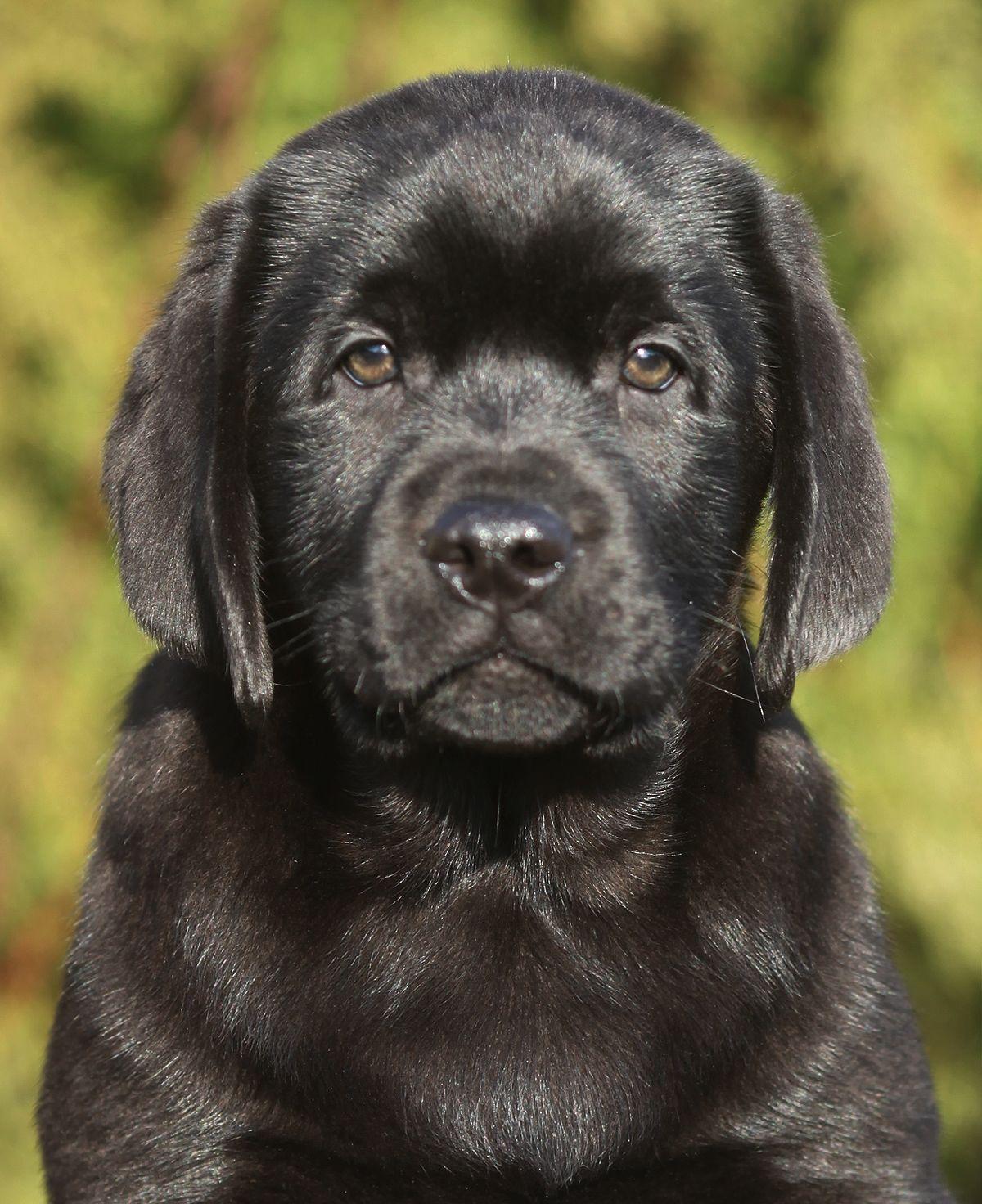 Neo The Labrador Retriever Boy Is The Most Wonderful Puppy Who We Ever Meet Labrador Retriever Black Labrador Retriever Black Labrador Puppy