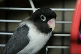 Agapornis Black Pesquisa Google Aves Pajaros Jaulas