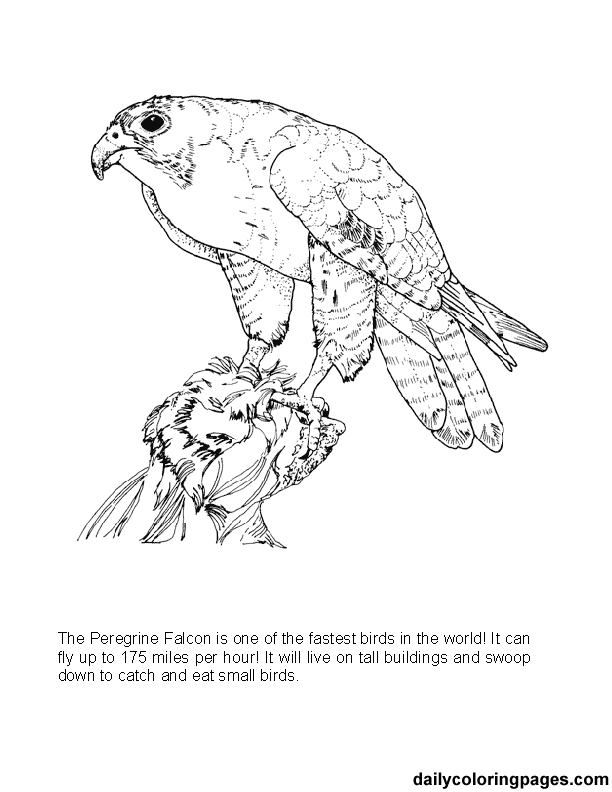 big coloring pages of animals texas big bend peregrine falcon bird coloring pages 04