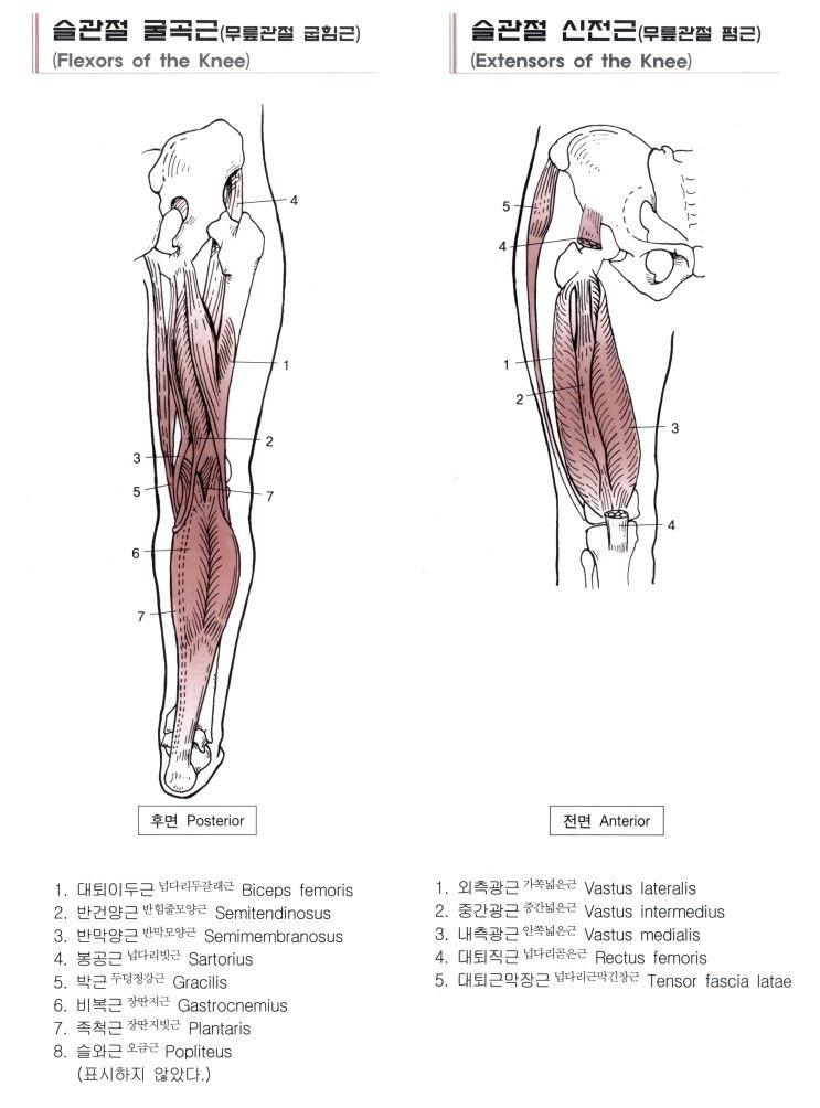넙다리(대퇴)의 근육 15 - Semitendinosus 반힘줄근 반건상근(半腱狀筋 ...