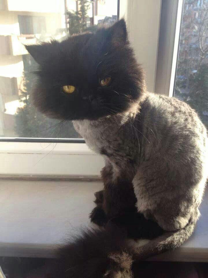 Persian Cat Lion Cut : persian, Persian