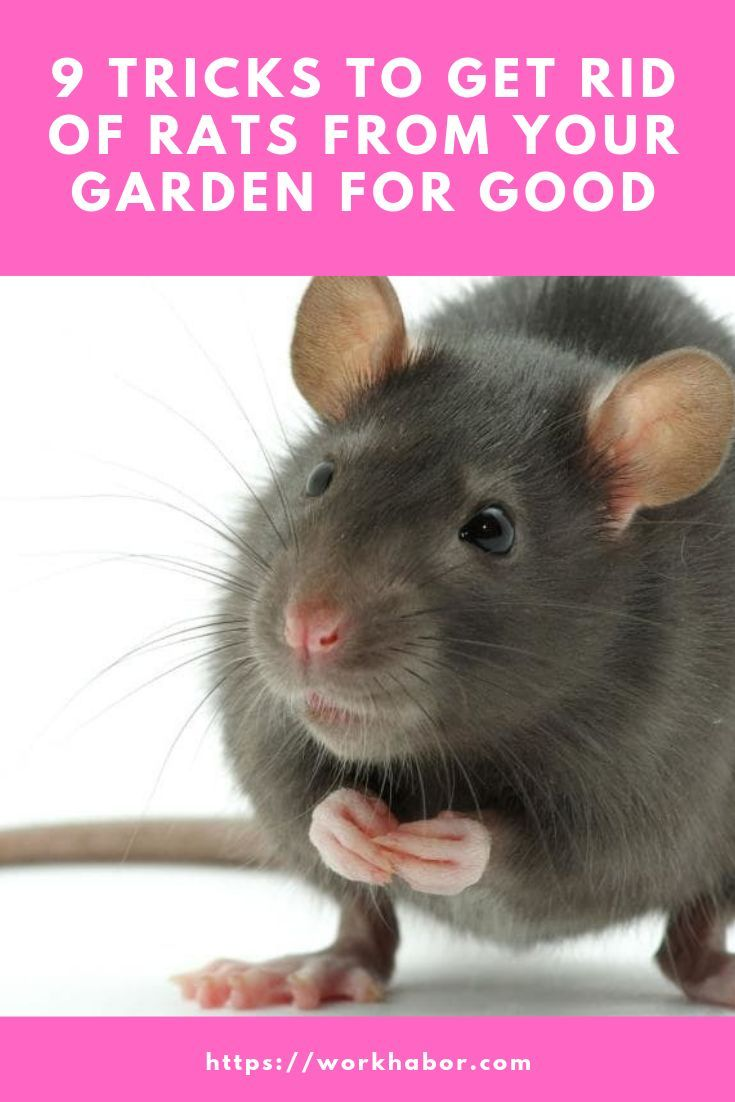 Tricks On How To Get Rid Of Rats In The Garden | Getting ...