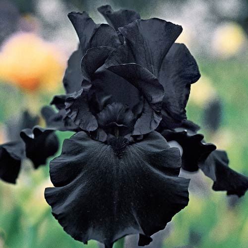 Raven Girl Bearded Iris In 2020 Amazing Flowers Iris Flowers Black Flowers