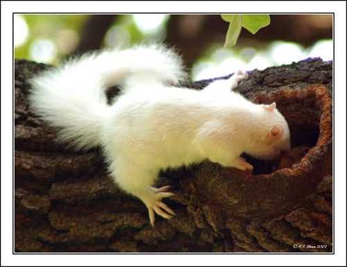 What are you doing in there? (Albino squirrel II  - 17) by KT Shiue, via Flickr