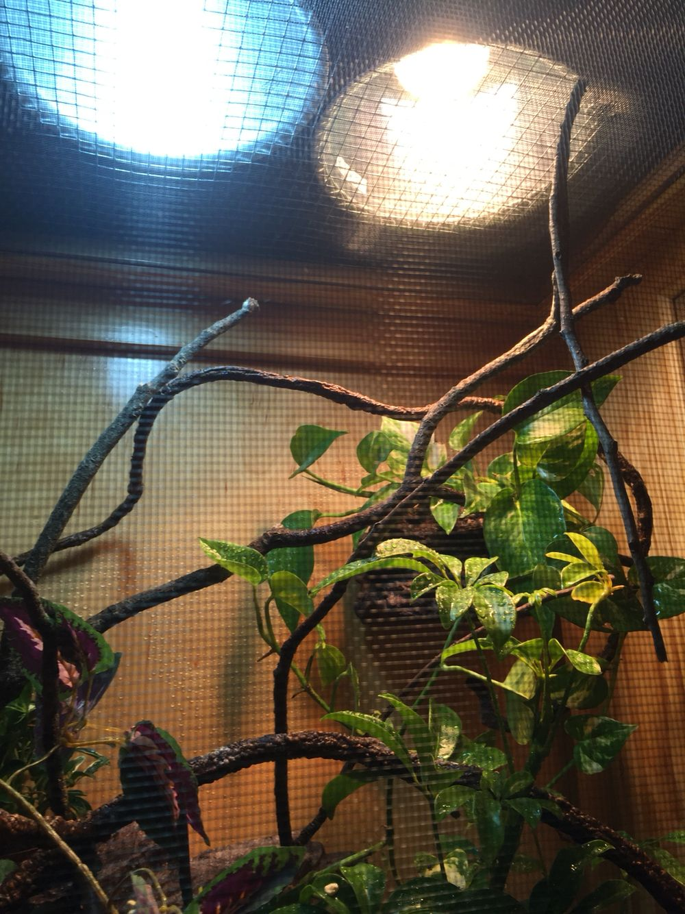 Basking area for a 7 month old male veiled chameleon one reptisun one reptisun tropical uvb compact bulb and a 100 watt heat lamp i have them separately in deep dome lamp fixtures resting arubaitofo Choice Image