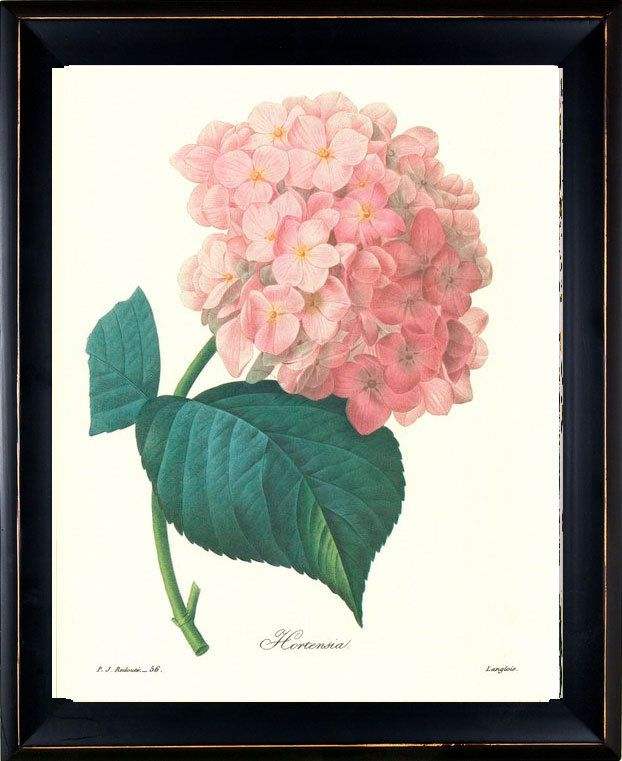 Redoute Antique French Botanical Art Print Pink Hydrangea