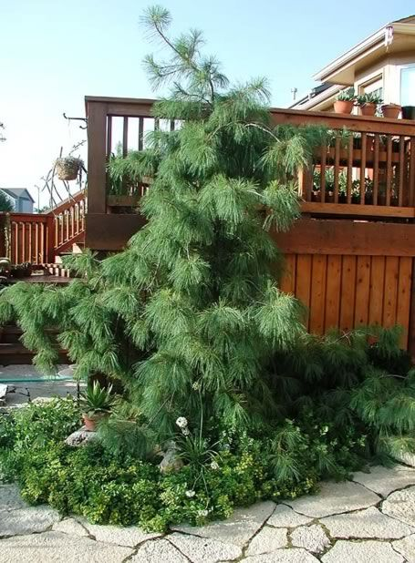 Weeping White Pine Favorite Trees And Shrubs Landscaping Trees