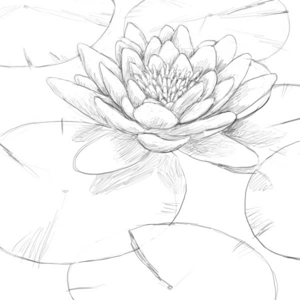 No Information Lilies Drawing Flower Drawing Water Lily Drawing